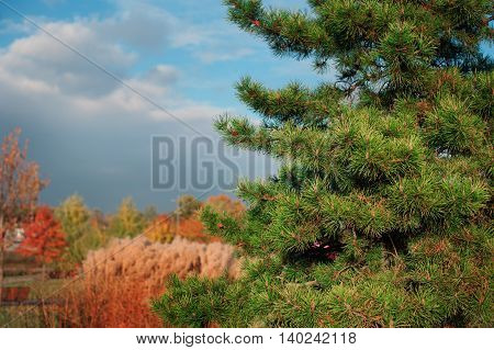close up pine branches in the autumn forest.