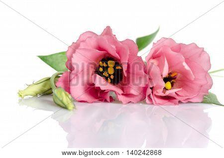 Beautiful Pink Eustoma Flowers Isolated On White Background