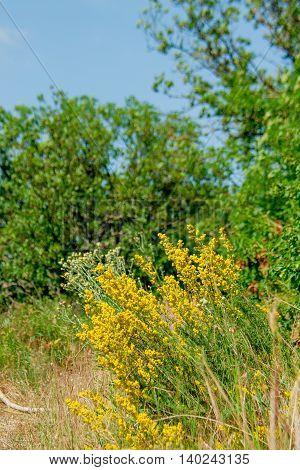 Yellow flowering mountain shrub summer sunny day