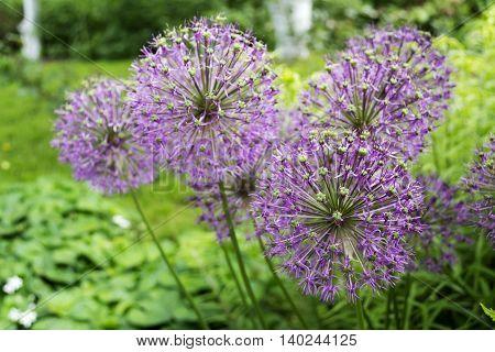 Photo of purple flowers in the garden in summer