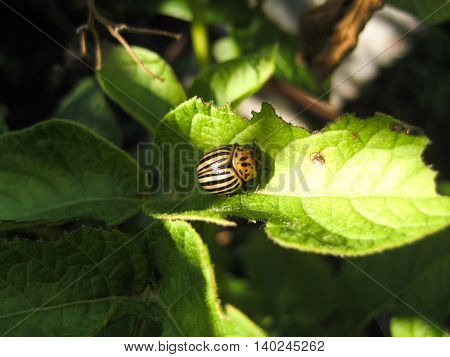 Colorado beetle on potato leaf. Colorado beetle eats a potato leaves