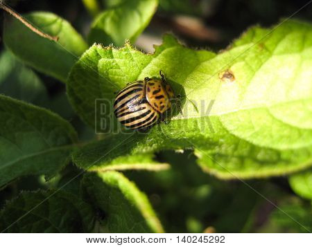 Colorado beetle on potato leaf .Colorado beetle eats a potato leaves