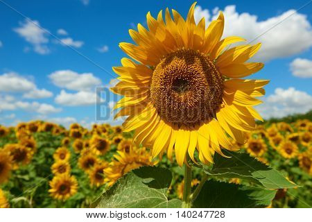 sunflower field closeup, beautiful summer landscape