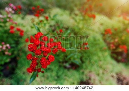 Soft Focus Of Branch Bloom Small Red Roses