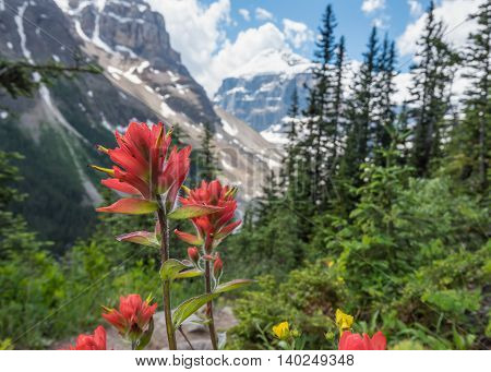 Close Up of Indian Paint Brush against Snowy Mountains Background