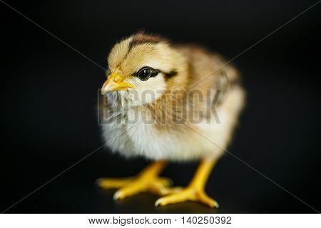 cute little chicken on a black background