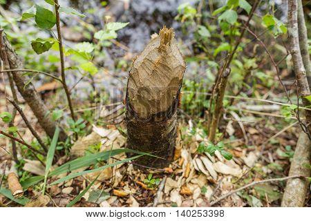 Trunk Of Fallen Tree Eared By Beaver