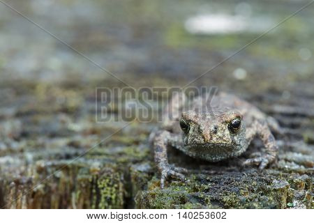 Small serious  frog resting on old stump