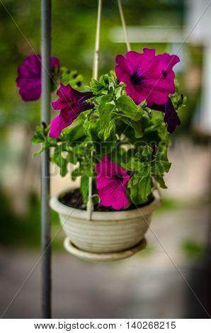 Marvelous violet petunia in a hanging flowerpot