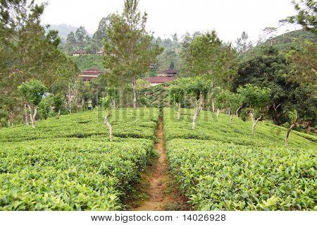 tea-plantations path in the Sri Lanka highlands