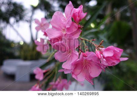 flower of a pink oleander Nerium oleander