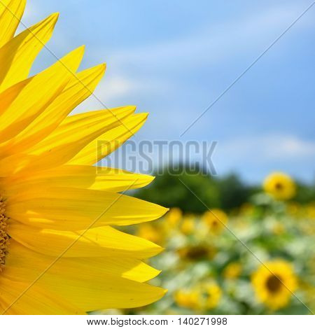 Sunflowers blooming in farm - field with blue sky Beautiful natural colored background. Nature.