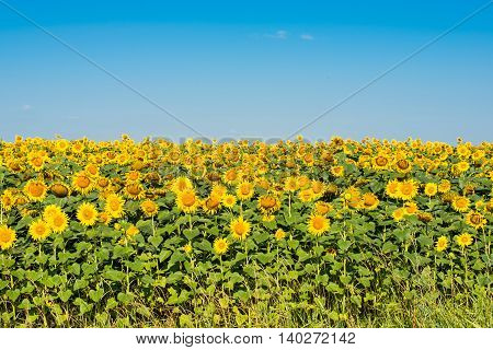 sunflowers growing in the field  flower  farming