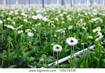 Closeup of white blooming Gerbera plants with dark hearts in a specialized Dutch flower nursery