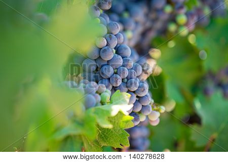 Closeup of grapes on a vine in a vineyard