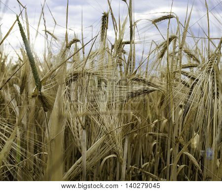 Wheat field, golden ears of wheat, close up