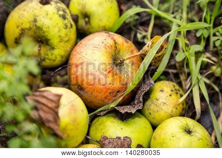 Close Up Of Some Windfalls Apples Laying In The Dirt