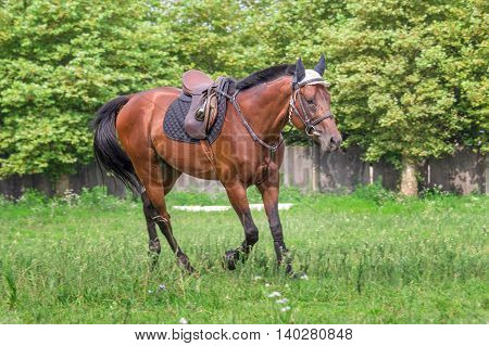 Beautiful horse galloping at the field in summer.