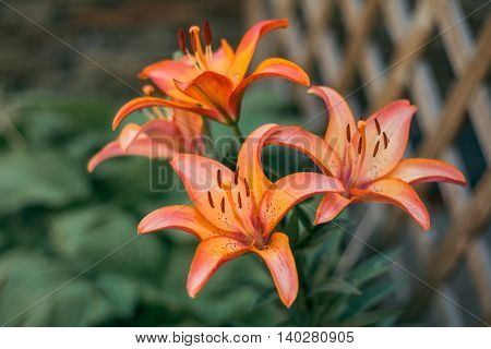 Zephyranthes flower, beautiful closeup, common names for species in this genus include fairy lily, rainflower, zephyr lily, magic lily, Atamasco lily, madonna lily and rain lily