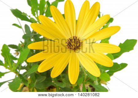 close up of the yellow flower daisy Osteospermum