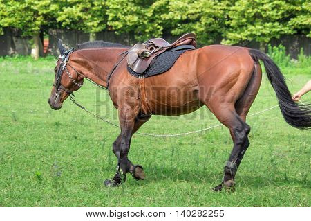 man training a Beautiful horse galloping at the field.