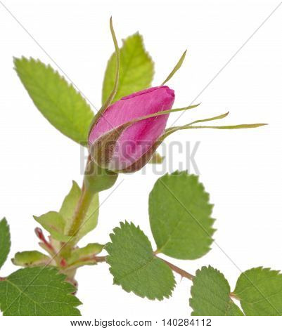 Branch Of Dog-rose With Leaf And One Bud. Isolated On White Background. Close-up.