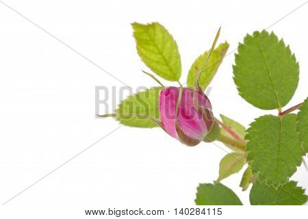 Branch Of Dog-rose With Leaf And One Bud And An Empty Place For Your Text. Isolated On White Backgro