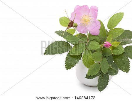 Branch Of Dog Rose With Leaves, Flower And One Bud In A Ceramic Flower Vase. Isolated On White Backg