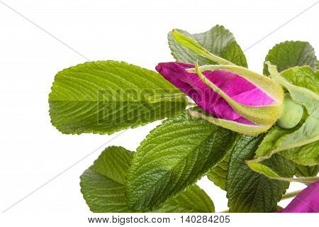 Green branch with red wild rose bud briar dog-rose isolated on a white background