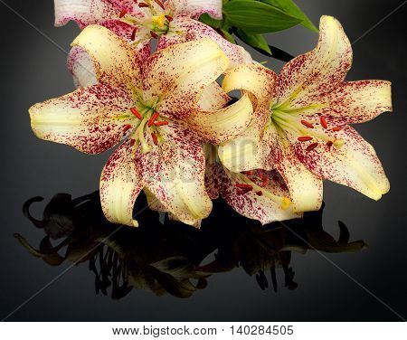 Three Beautiful Unusual Tiger Lilies With Mirroring Over Black Background.