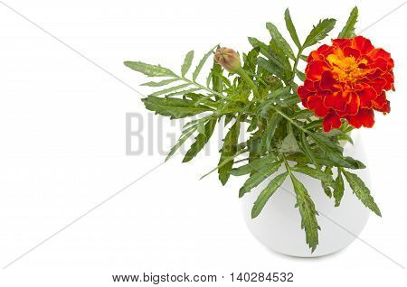 Dark Red Marigold Flower In A Ceramic Vase, Flowerpot. Isolated On White Background, Close-up And Bl