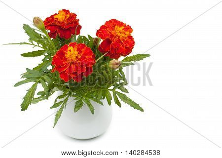 Dark Red Marigolds Flowers In A Ceramic Vase, Flowerpot. Isolated On White Background, Close-up And
