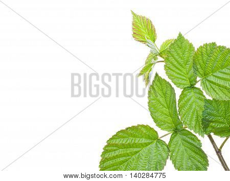 Green raspberry leaves branch with blank place for your text. Isolated on a white background close-up.