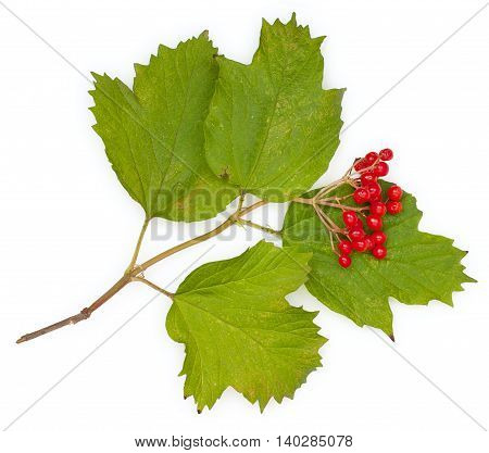 Berries of red Viburnum with leaves isolated on white close-up a top plan view.