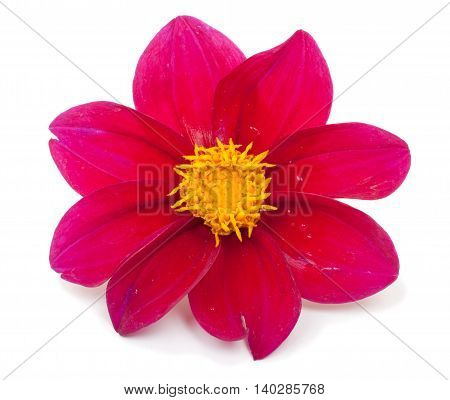 Flower red dahlias isolated on white background close-up.