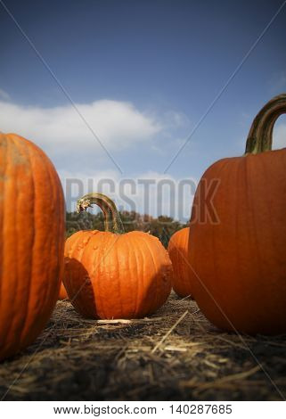 Halloween pumpkins on a farm during harvest - low angle with shadow