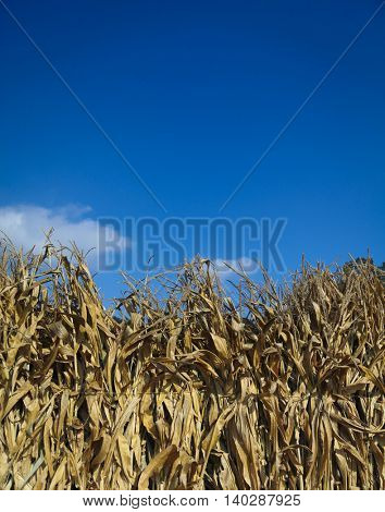 Row of dried bundled corn stalks and blue sky - background