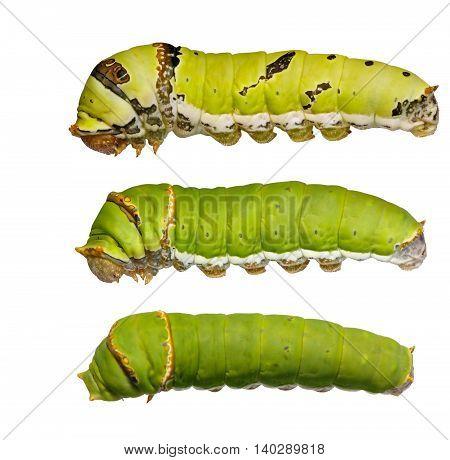 Catepillars Of Lime Butterfly ( Papilio Demoleus )