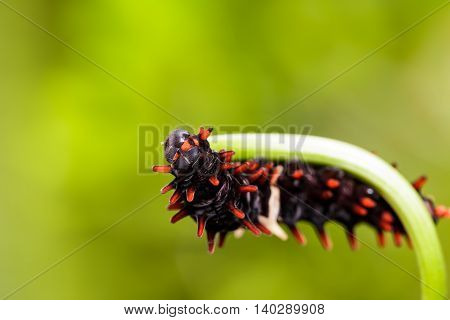 Catepillar Of Common Rose Butterfly On Leaf