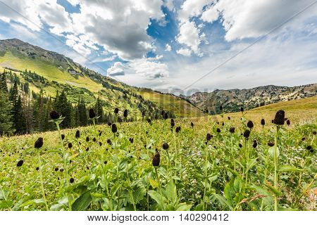 Bloomed out daisy wildflowers in alpine mountains at Albion Basin by Salt Lake City, Utah