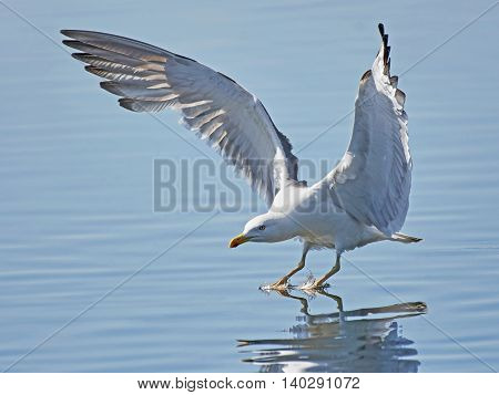Great black-backed gull (Larus marinus) with open wings landing in water