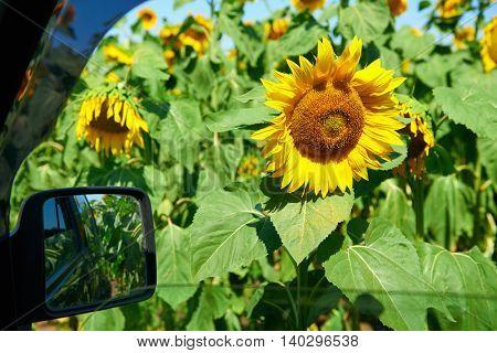 car window and sunflower field, beautiful summer landscape, travel concept