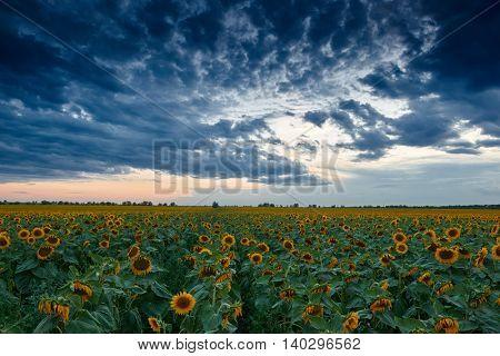 sunset in sunflower field, beautiful summer landscape, dark cloudy sky