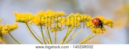Ladybug (ladybird, Coccinellidae), perched on anise flower