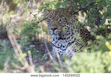 Beautiful large male leopard walking in nature hunting for food