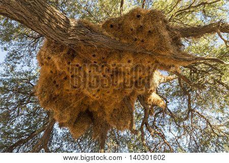 birds nets of sociable weaver Philetairus socius