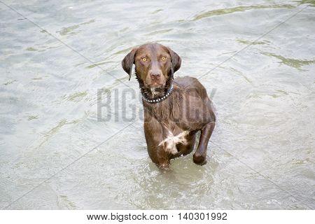 Hunting dog breed Kurzhaar standing in water