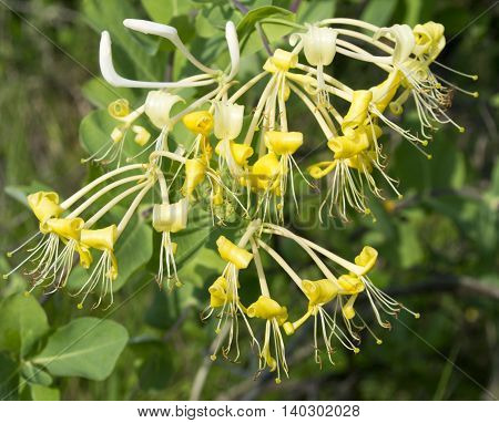 Picturesque yellow flowers on a branch on a green background