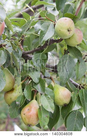 pears hanging on a tree branch in a garden in summer.