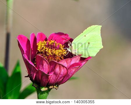 Brimstone butterfly. Gonepteryx rhamni (known as the common brimstone) is a butterfly of the Pieridae family. Close-up of a flower zinnias.